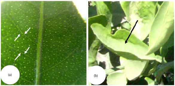 Image for - Characterization of  Citrus tristeza virus (CTV) Isolated from Dakahlia Governorate, Egypt