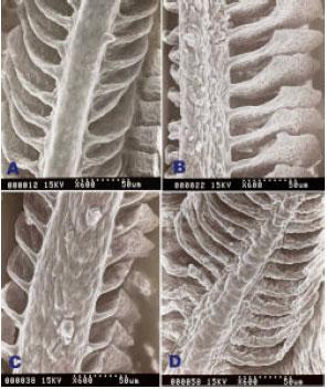 Image for - The Effect of Ascorbic Acid on Cadmium Exposure in the Gills of Puntius altus