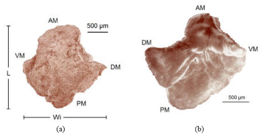 Image for - Morphologic and Morphometric Analysis and Growth Rings Identification of Otoliths: Sagitta, Asteriscus and Lapillus of Caranx caninus (Pisces: Carangidae) in the Coast of Colima, Mexico