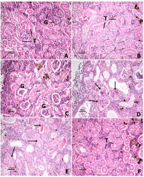 Image for - Histopathological Study: The Effect of Ascorbic Acid on Cadmium Exposure in Fish (Puntius altus)
