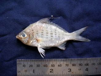 Image for - First Record of Three Species of Gerreids (Pisces: Perciformes) from the Jaffna Lagoon, Sri Lanka