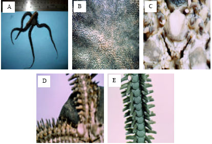 Image for - Diversity of Ophiuroidea from Lengeh Portand Qeshm Island in the Persian Gulf