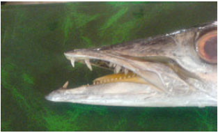 Image for - A Study on Diet Composition and Feeding Habitats of Sawtooth Barracuda (Sphyraena putnamae) in Bandar-Abbas (North of Persian Gulf)