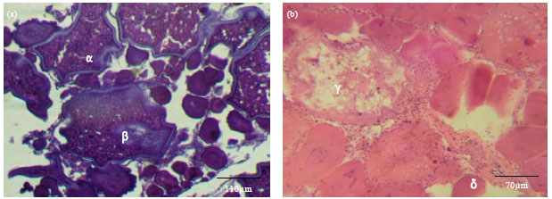 Image for - Microscopic Staging System used in the Identification of Gonad Developmental Stages of Scomberoides lysan