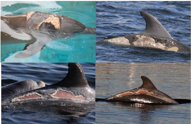 Image for - Synopsis on the Most Common Pathologies of Dolphins