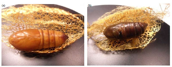 Image for - Isolation and Application of Pathogenic and Biological Control Bacteria from Pupae of Golden Silkworm Cricula trifenestrata Helfer