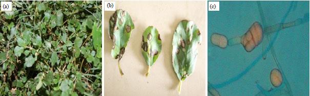 Image for - Management of Horse Purslane (Trianthema portulacastrum L.): An Overview