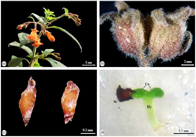 Image for - Germination Capacity and Seedling Survival of Moussonia deppeana (Gesneriaceae) from the Montane Cloud Forests
