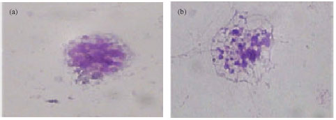 Image for - Morphological and Structural Characteristics of the Hemocytes of          the Anodonta cygnea