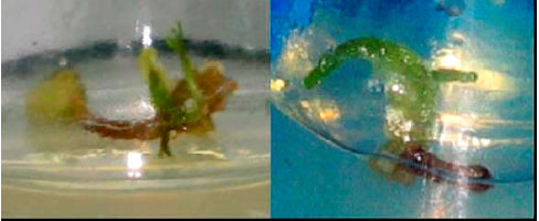 Image for - Effect of Plant Growth Regulators on Callus Induction and Regeneration of Bunium persicum (Boiss.) B. Fedtsch