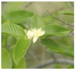 Image for - Phytochemical and Biopharmaceutical Aspects of Psidium guajava (L.) Essential Oil: A Review