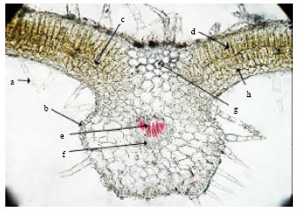 Image for - Histo-anatomical Study of Anisochilus carnosus (L.f.) Wall: An Indian Habitant