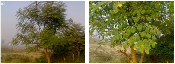Image for - Nutritional Potentials of Moringa olifera Leaves in Uttar Pradesh,    India