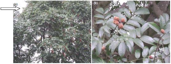 Image for - Antifungal and Antibacterial Activity of Crude Stem Bark Extracts' of Bersama abysinicca Verdc. and Faurea saligna Harr.