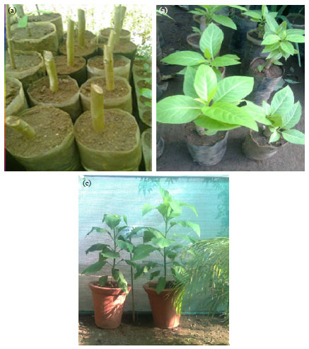 Image for - Documentation of Physiochemical Parameters of the Folkloric Medicinal Plant Pisonia grandis R.Br. Reared under Greenhouse and Local Environment Conditions