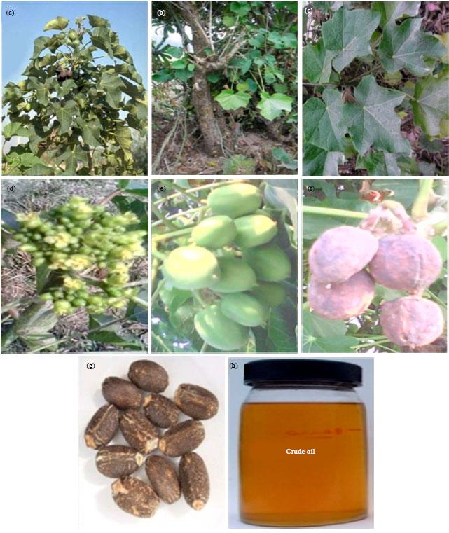 Image for - Origin, Distribution, Ethnobotany and Pharmacology of Jatropha curcas