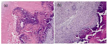 Image for - Promotion of Wound Healing by Leaf Extracts of Sesbania aegyptiaca in Albino Rats