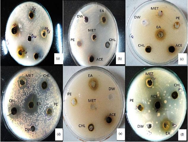 Image for - Antimicrobial Activity of Medicinal Plant: Parthenium hysterophorus L.