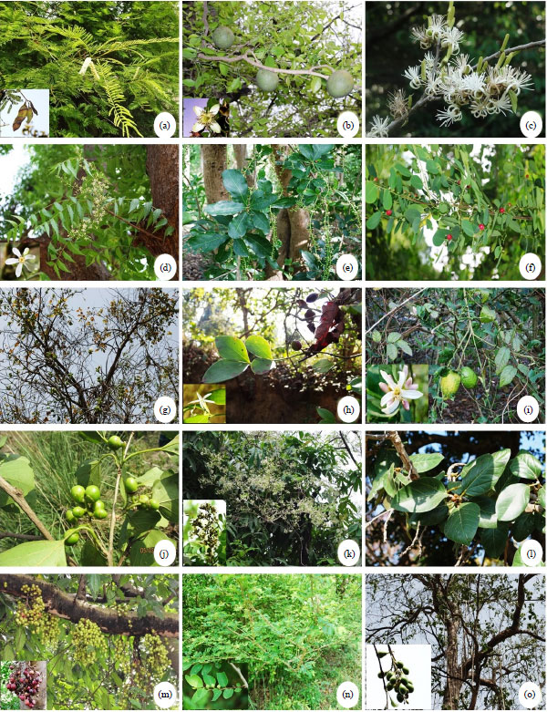 Image for - Ethnomedicinal Uses of Tree Species by Tharu Tribes in the Himalayan Terai Region of India