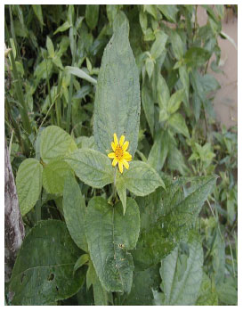 Image for - Nigerian Folklore Medicinal Plants with Potential Antifertility Activity in Males: A Scientific Appraisal