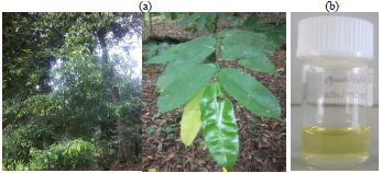 Image for - Chemical Composition, Antibacterial and Antioxidant Activities of Essential Oils of Dryobalanops lanceolata Burck. Leaf