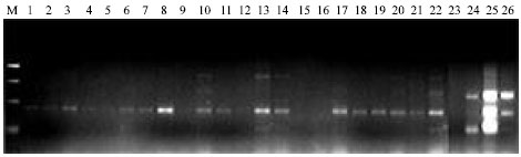 Image for - Identification and Differentiation of Orseolia Species in Nigeria as Revealed by SCAR-PCR Analysis