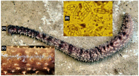 Image for - New Observation of Two Species of Sea Cucumbers from Chabahar Bay (Southeast    Coasts of Iran)