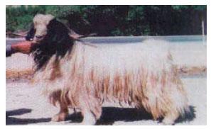Image for - Genetic Diversity of Lori Goat Population Based on Microsatellite Marker