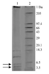 Image for - Two β Defensin Cationic Peptides from Mastitic Milk of Bubalus bubalis