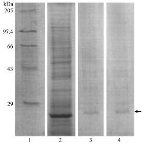 Image for - Purification and Characterization of Plasmodium berghei Thioredoxin Reductase