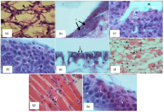 Image for - Histopathological Observation of White Spot Syndrome Virus and Infectious Hypodermal and Hematopoietic Necrosis Virus in Shrimp Farms, Litopenaeus vannamei, in Bushehr Province, Iran