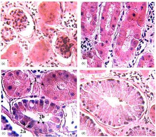 Image for - Anatomical and Histological Study of the Excretory System in the Bosc's Fringe-Toed Lizard (Acanthodactylus boskianus)