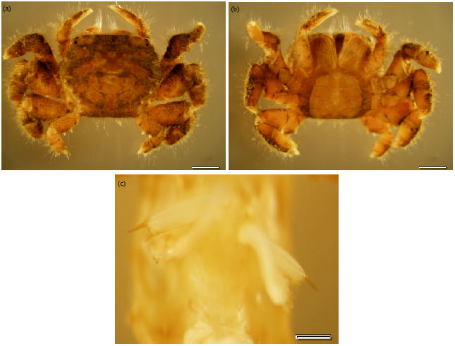 Image for - First Record of the Brachyuran Crab,  Baruna trigranulum  Dai and    Song, 1986 (Crustacea: Brachyura: Camptandriidae) from Sungai Brunei Estuary,    Brunei Darussalam