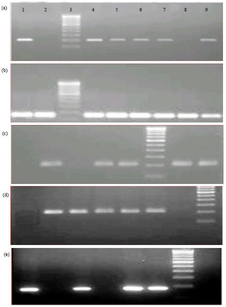 Image for - Association between SNPs in TLR2 Gene Segment Corresponding to LRR Functional Domain of TLR2 Receptor and Bovine Mastitis