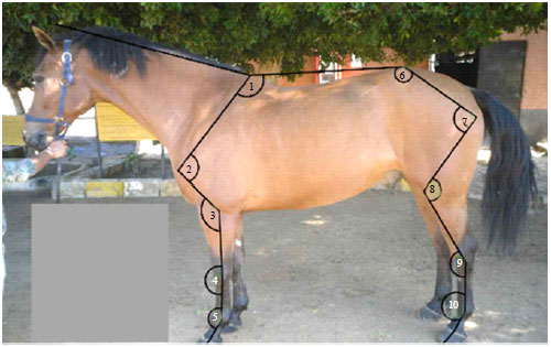 Image for - Evaluation of Limb Conformation in Jumping Thoroughbred Horses