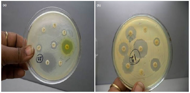 Image for - Incidence and Pattern of Antibiotic Resistance of Staphylococcus aureus Isolated from Clinical and Subclinical Mastitis in Cattle and Buffaloes