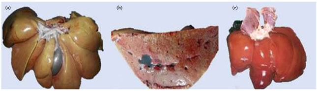 Image for - Role of Hepatocyte Differentiated Mesenchymal Stem Cells in Treatment of Experimentally Induced Canine Liver Cirrhosis