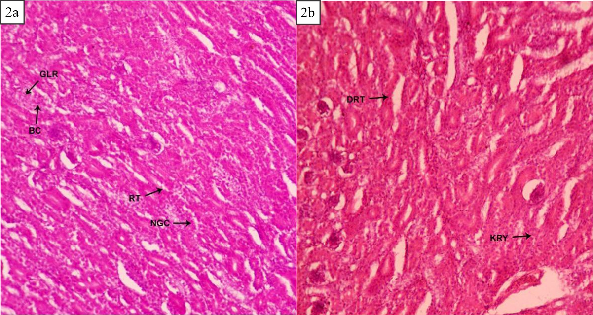 Image for - Mycotoxigenicity of Territrem B: Histopathological Investigations of Chick Ingesting A. Terreus Infested Feed