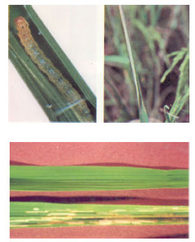 Image for - The Use of CAMB Biopesticides to Control Pests of Rice (Oryza sativa)