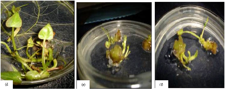 Image for - Responses of Five Locally Adapted Sweet Potato (Ipomoea batatas (L.) Lam)Cultivars to in vitro Plant Regeneration via Direct and Indirect Embryogenesis