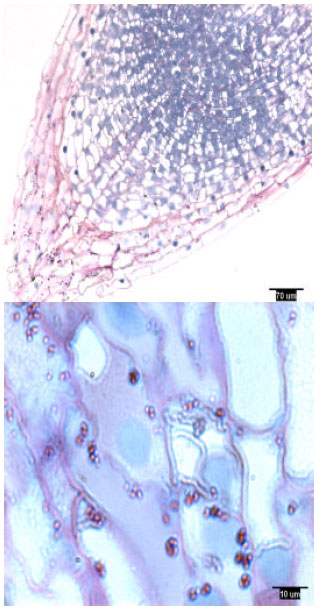 Image for - Amyloplasts in Slash (Pinus elliottii Engelm.) and Loblolly (Pinus taeda L.) Pine Rootcaps