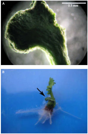 Image for - Effects of Abscisic Acid on Somatic Embryogenesis and Induction of Desiccation Tolerance in Brassica napus