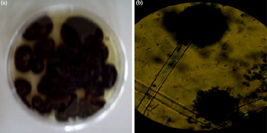 Image for - Assessment of Growth and Cellulase Production of Wild-Type Microfungi Isolated from Ota, Nigeria