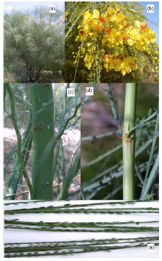 Image for - Parkinsonia aculeata: A Phytopharmacological Review