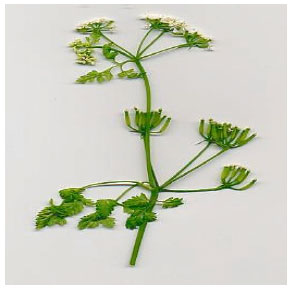 Image for - Chervil: A Multifunctional Miraculous Nutritional Herb