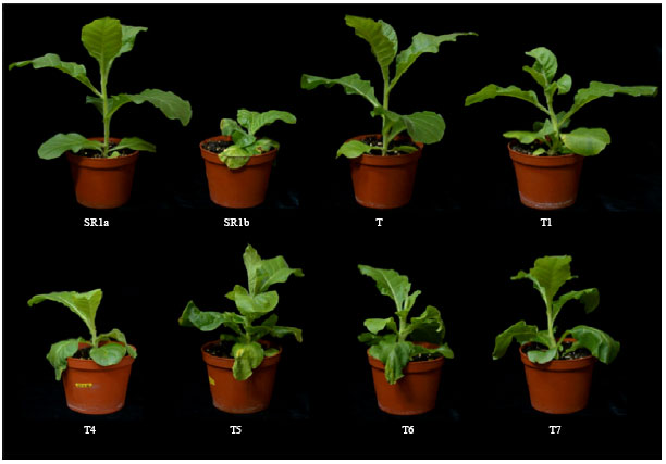 Image for - Disease Resistance Conferred by Constitutive Expression of a Fungal Glucose Oxidase Gene in Transgenic Tobacco Plants