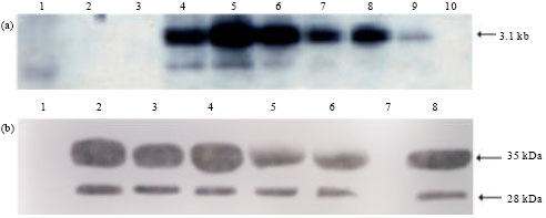 Image for - Agrobacterium-mediated Transformation of Pearl Millet (Pennisetum typhoides (L.) R.Br.) for Fungal Resistance