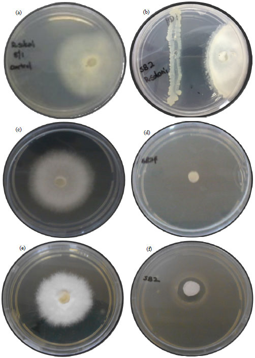 Image for - Phytobeneficial and Plant Growth-promotion Properties of Silicon-solubilising Rhizobacteria on the Growth and Control of Rice Sheath Blight Disease