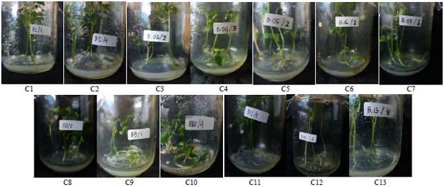 Image for - In vitro Seeds Germination and Plantlets Growth of Hot Pepper (Capsicum frutescens L.) On Non-autoclaved Murashige and Skoog basal Medium