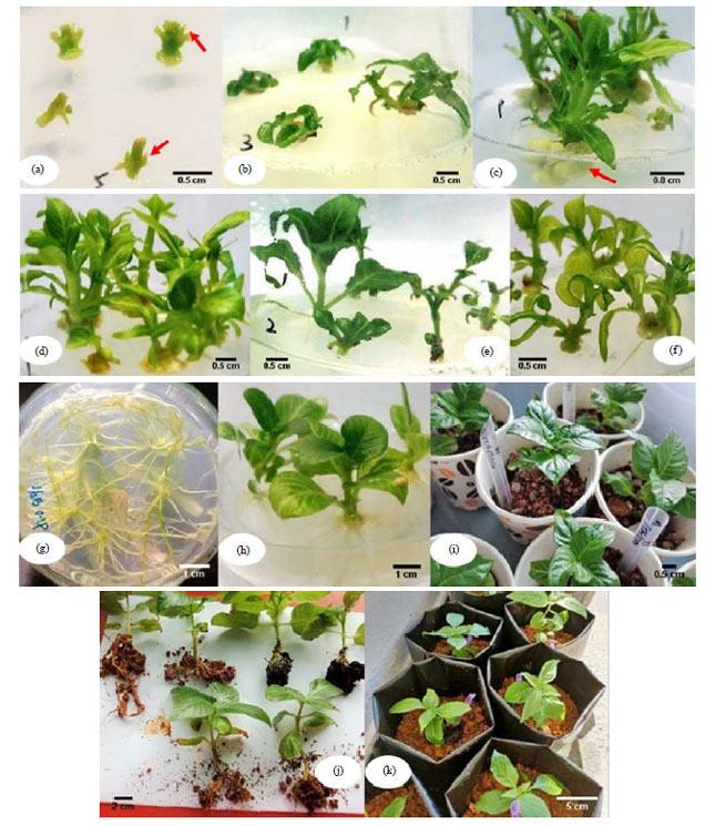 Image for - Rapid in vitro Propagation and Efficient Acclimatisation Protocols of Neolamarckia cadamba